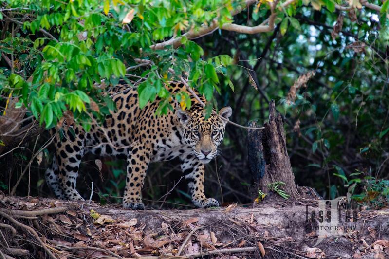 Jaguar-3395(1).jpg :: Jaguar cats hunting in Patagona