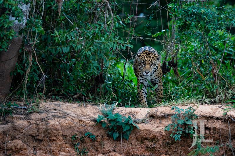 Jaguar-3640(1).jpg :: Jaguar cats hunting in Patagona