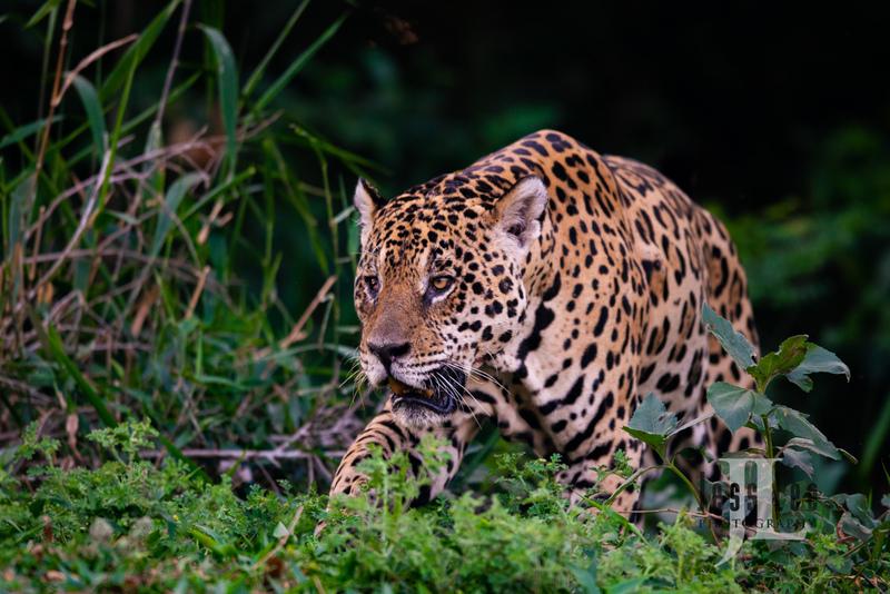 Jaguar-4836(1).jpg :: Jaguar cats hunting in Patagona