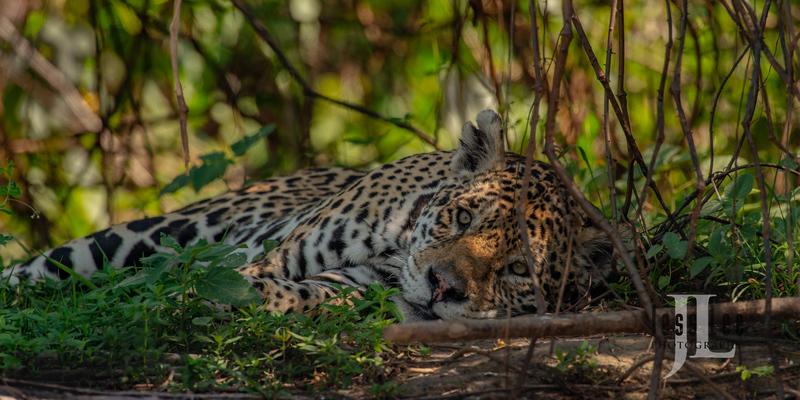 Jaguar-5002(1).jpg :: Jaguar cats hunting in Patagona