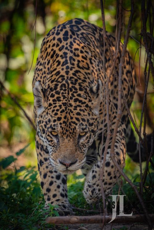 Jaguar-5077(1).jpg :: Jaguar cats hunting in Patagona