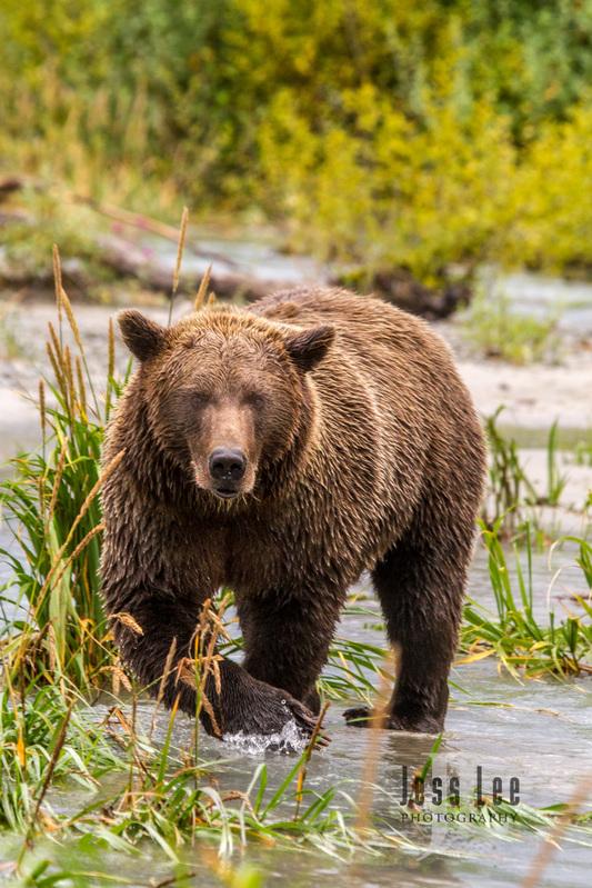 Katmai-brown-bears-45413(1).jpg