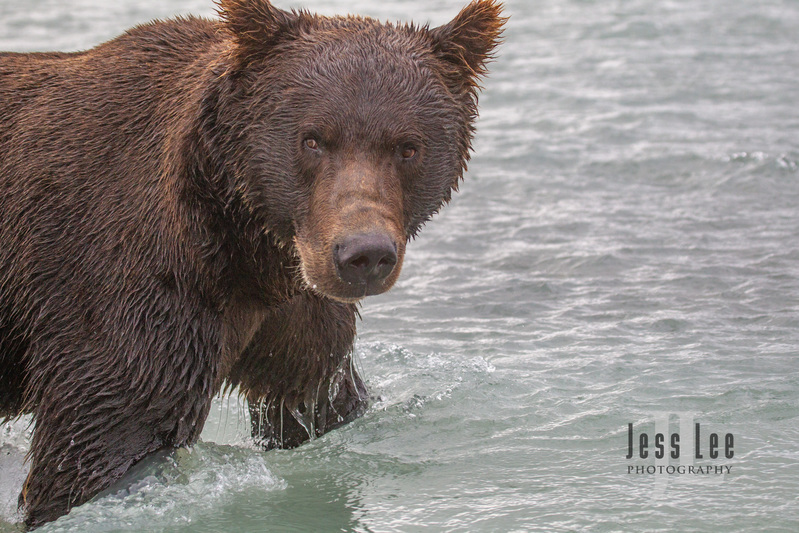 Katmai-brown-bears-45536(1).jpg