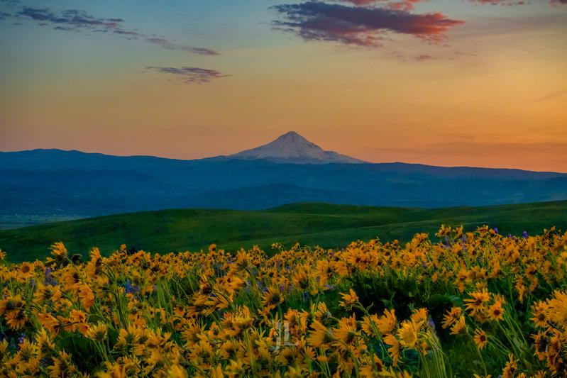 Mt-Hood-Spring-Flowers_JRL1307(1).jpg :: Spring flowers at mount Hood sunrise