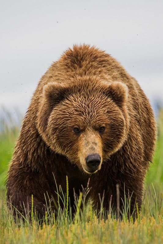 _EE41934.jpg :: Alaska_Bear Photo