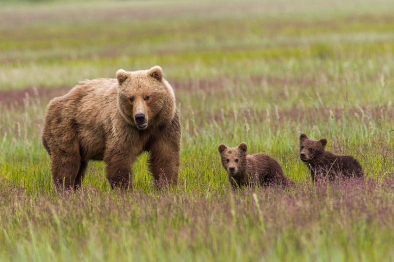 _EE42220.jpg :: Alaska_Bear Photo