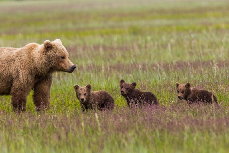 _EE42222.jpg :: Alaska_Bear Photo