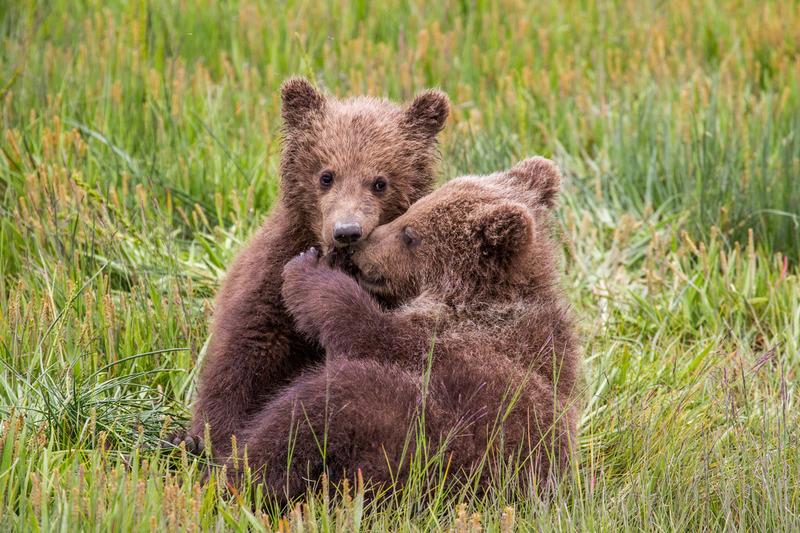 _EE42241.jpg :: Alaska_Bear Photo