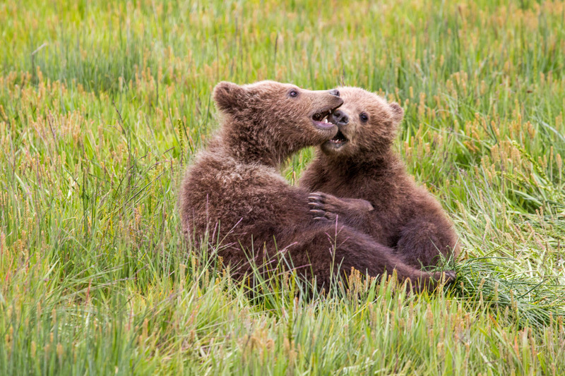 _EE42276.jpg :: Alaska_Bear Photo