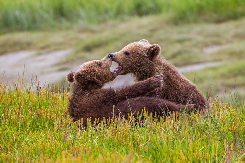 _EE42331.jpg :: Alaska_Bear Photo