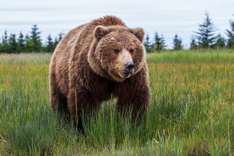 _EE42344.jpg :: Alaska_Bear Photo