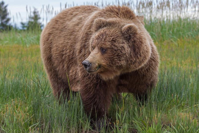 _EE42356.jpg :: Alaska_Bear Photo