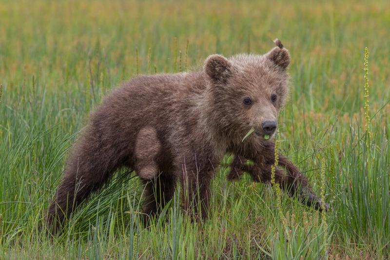 _EE42375.jpg :: Alaska_Bear Photo