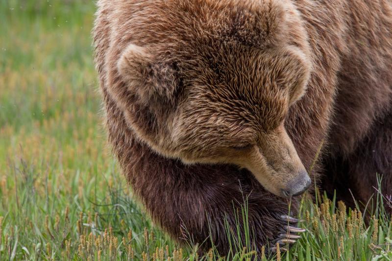 _EE42420.jpg :: Alaska_Bear Photo