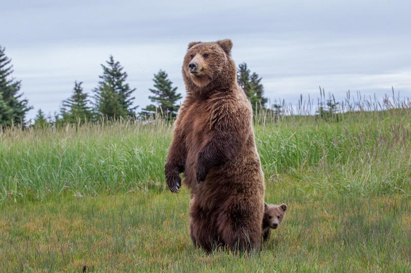 _EE42433.jpg :: Alaska_Bear Photo