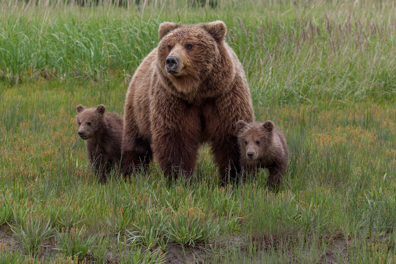 _EE42451.jpg :: Alaska_Bear Photo