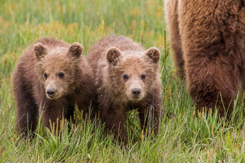 _EE42482.jpg :: Alaska_Bear Photo