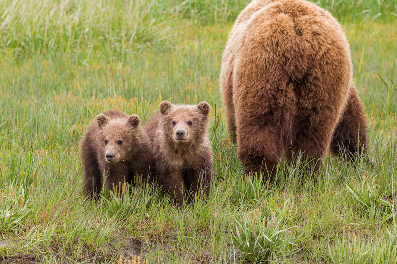 _EE42487.jpg :: Alaska_Bear Photo
