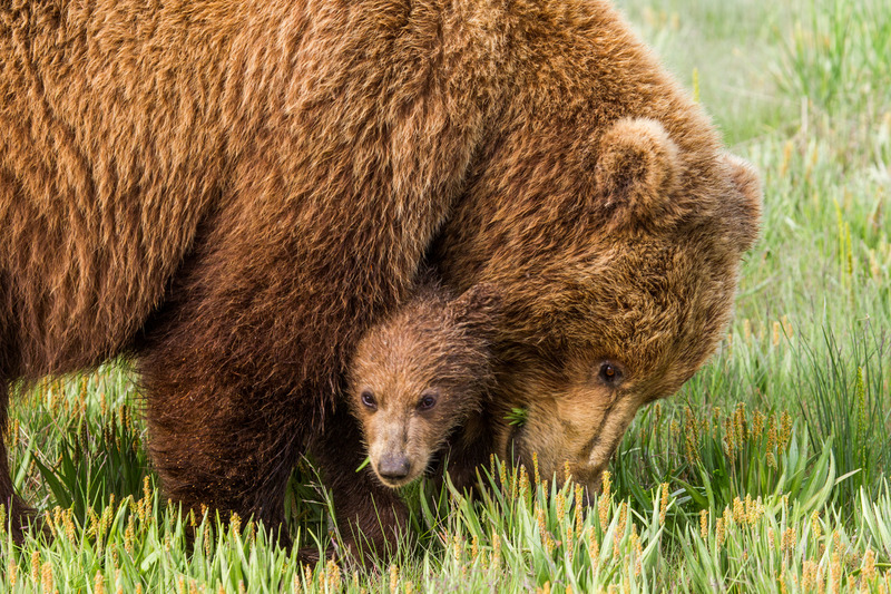 _EE42683.jpg :: Alaska_Bear Photo
