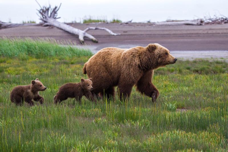 _EE49517.jpg :: Alaska_Bear Photo