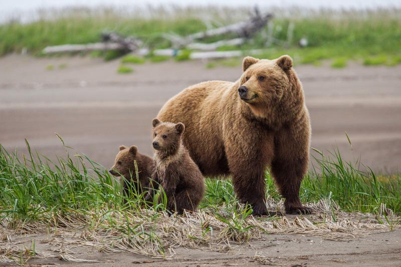 _EE49541.jpg :: Alaska_Bear Photo