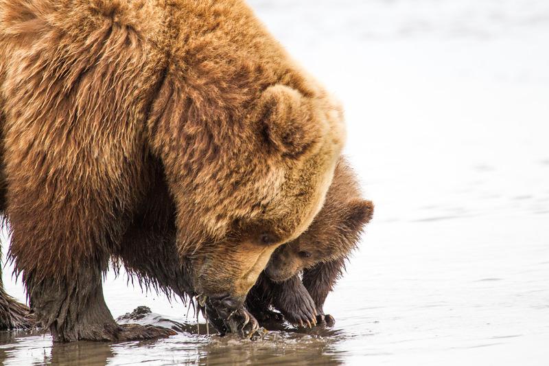 _EE49602.jpg :: Alaska_Bear Photo