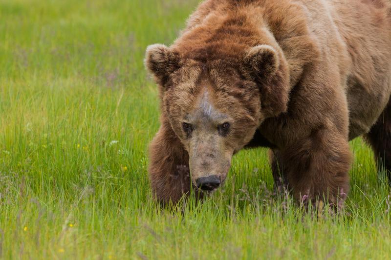 _EE49738.jpg :: Alaska_Bear Photo