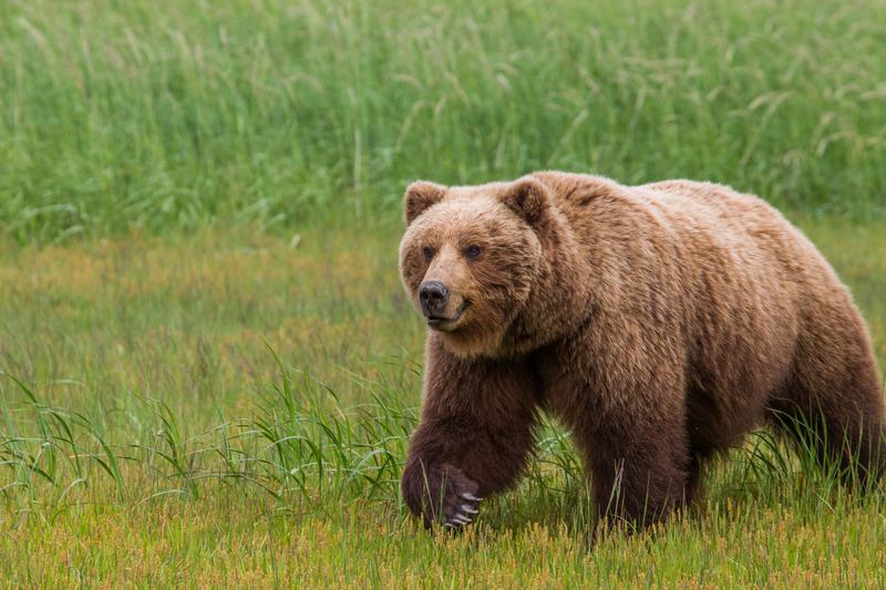 _EE49754.jpg :: Alaska_Bear Photo