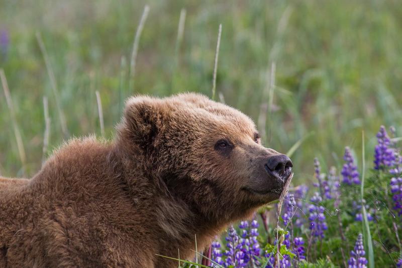 _EE49800.jpg :: Alaska_Bear Photo