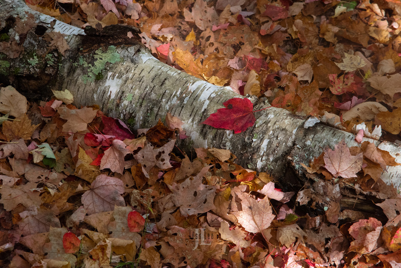 autumn-birch-leaves-17.jpg :: Limited edition fine art collector photography prints of birch tree leaves for sale