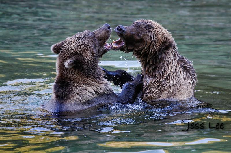 bearfight-145f8.jpg