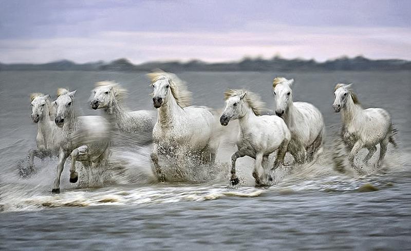 camargue-horses-6e371.jpg