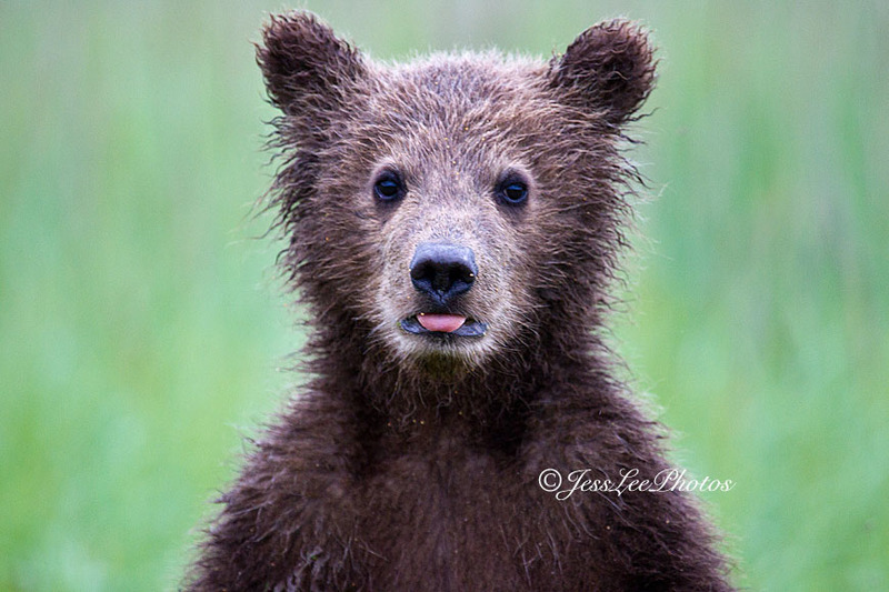 cub_tg_EE41869.jpg :: Alaska_Bear Photo