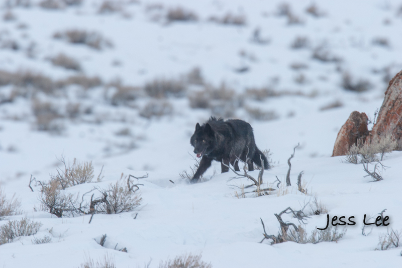 horz-11(1).jpg :: Wolf in winter