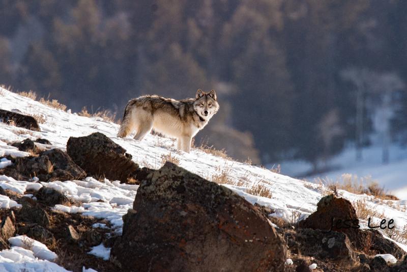horz-3679-3(1).jpg :: Wolf on the Rocks