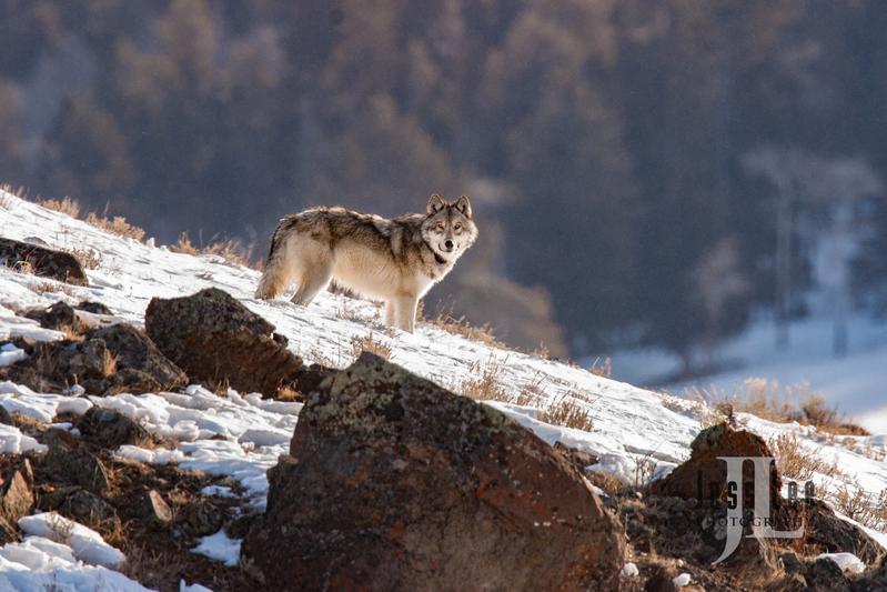 horz-3679.jpg :: Wolf on the Rocks