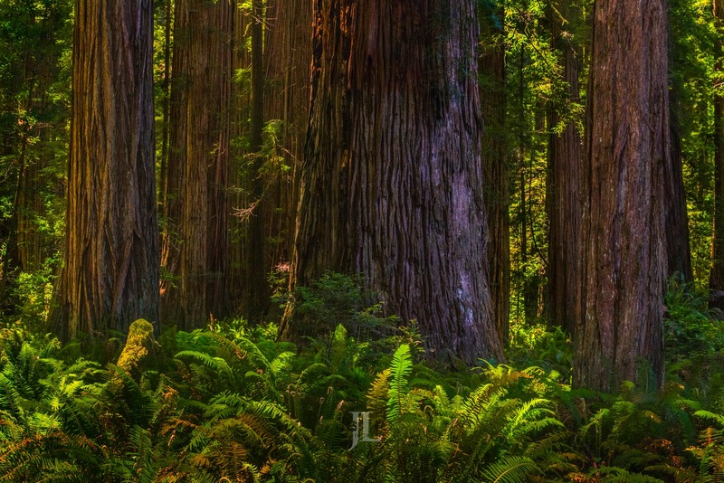 redwood-forrest-trees_LEE2584-Edit.jpg :: Limited edition fine art collector photography prints of Redwood forest trees for sale