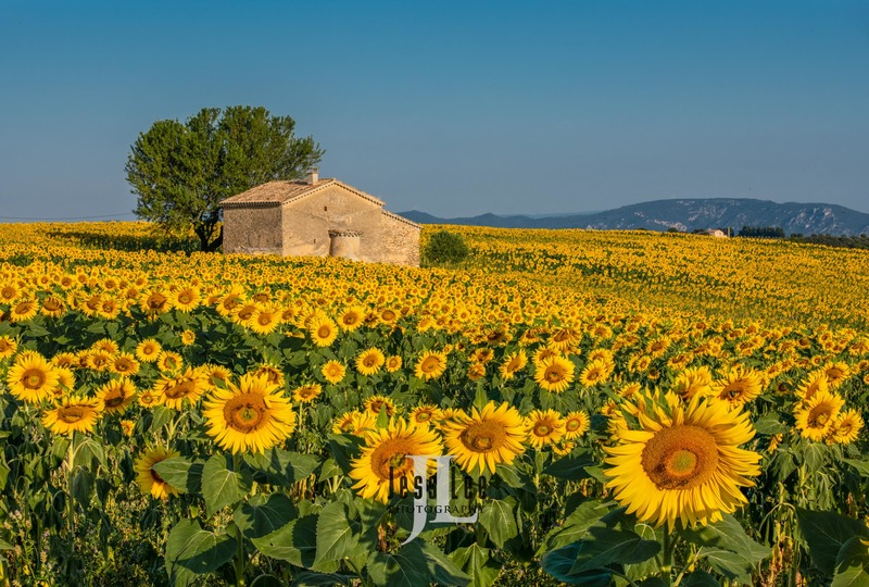 sunflowers-1608-19d5b.jpg