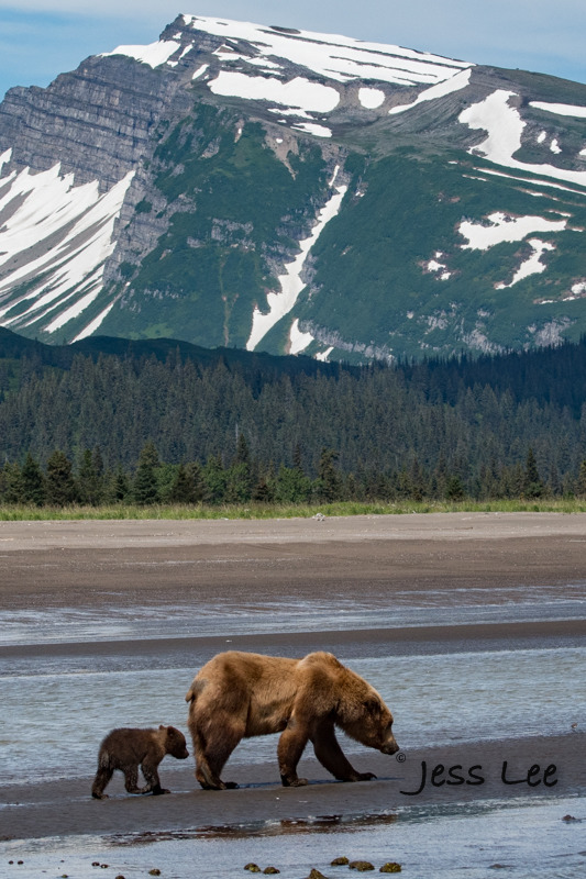 vert-mom-cub-1955-082fd.jpg :: Brown Bear And Cub hunting along Alaska coast