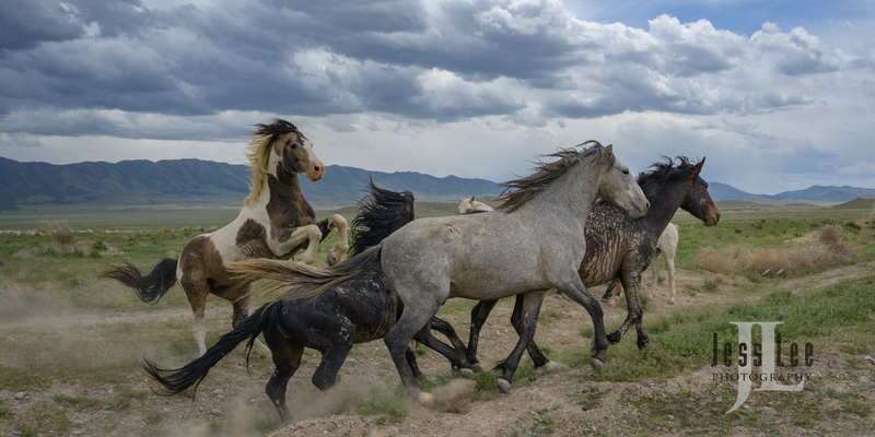 wild horses-2164(1).jpg :: Wild Horse Photos from Jess Lee Photo workshops for wild horses available for Stock, Prints, Fine Art. Mustangs from Utah, Wyoming, Oregon, Idaho, Colorado.