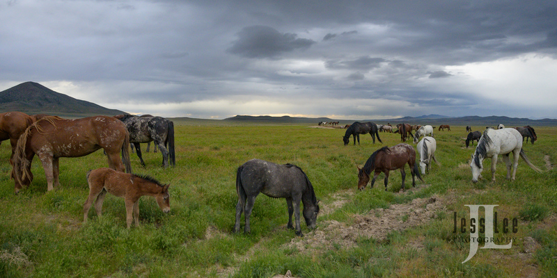 wild horses-2275(1).jpg :: Wild Horse Photos from Jess Lee Photo workshops for wild horses available for Stock, Prints, Fine Art. Mustangs from Utah, Wyoming, Oregon, Idaho, Colorado.