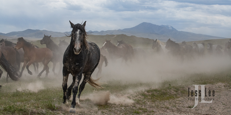 wild horses-2461(1).jpg :: Wild Horse Photos from Jess Lee Photo workshops for wild horses available for Stock, Prints, Fine Art. Mustangs from Utah, Wyoming, Oregon, Idaho, Colorado.