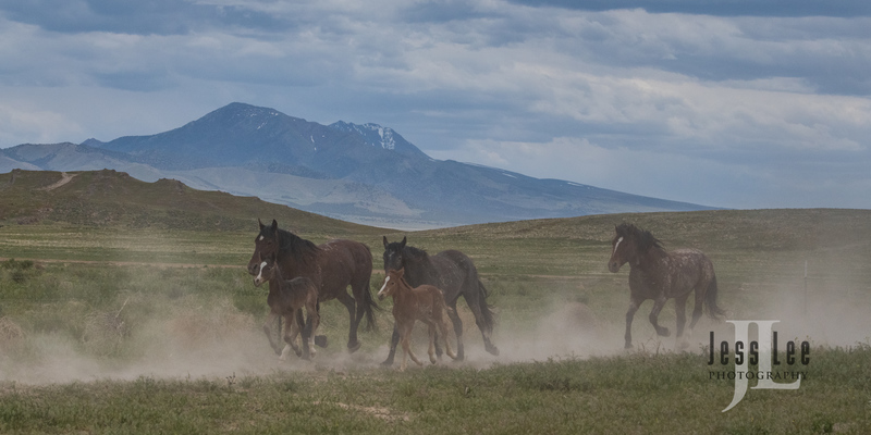 wild horses-2500(1).jpg :: Wild Horse Photos from Jess Lee Photo workshops for wild horses available for Stock, Prints, Fine Art. Mustangs from Utah, Wyoming, Oregon, Idaho, Colorado.