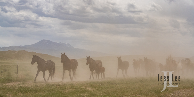 wild horses-2525(1).jpg :: Wild Horse Photos from Jess Lee Photo workshops for wild horses available for Stock, Prints, Fine Art. Mustangs from Utah, Wyoming, Oregon, Idaho, Colorado.