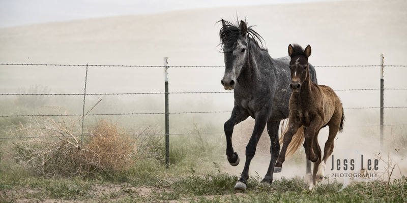 wild horses-2561(1).jpg :: Wild Horse Photos from Jess Lee Photo workshops for wild horses available for Stock, Prints, Fine Art. Mustangs from Utah, Wyoming, Oregon, Idaho, Colorado.
