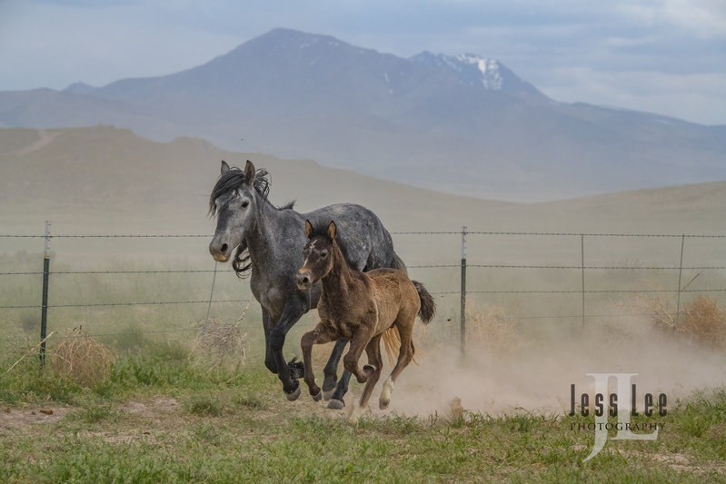 wild horses-2566(1).jpg :: Wild Horse Photos from Jess Lee Photo workshops for wild horses available for Stock, Prints, Fine Art. Mustangs from Utah, Wyoming, Oregon, Idaho, Colorado.