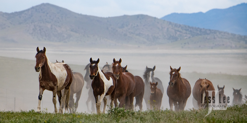 wild horses-2589(1).jpg :: Wild Horse Photos from Jess Lee Photo workshops for wild horses available for Stock, Prints, Fine Art. Mustangs from Utah, Wyoming, Oregon, Idaho, Colorado.