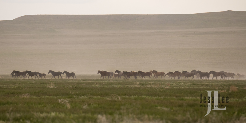 wild horses-2599(1).jpg :: Wild Horse Photos from Jess Lee Photo workshops for wild horses available for Stock, Prints, Fine Art. Mustangs from Utah, Wyoming, Oregon, Idaho, Colorado.