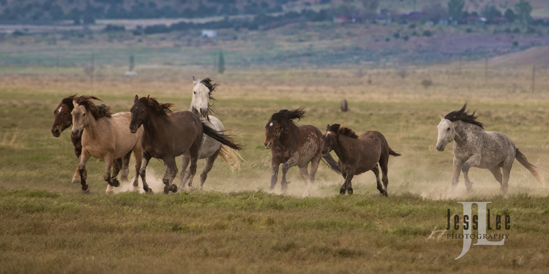 wild horses-2750(1).jpg :: Wild Horse Photos from Jess Lee Photo workshops for wild horses available for Stock, Prints, Fine Art. Mustangs from Utah, Wyoming, Oregon, Idaho, Colorado.
