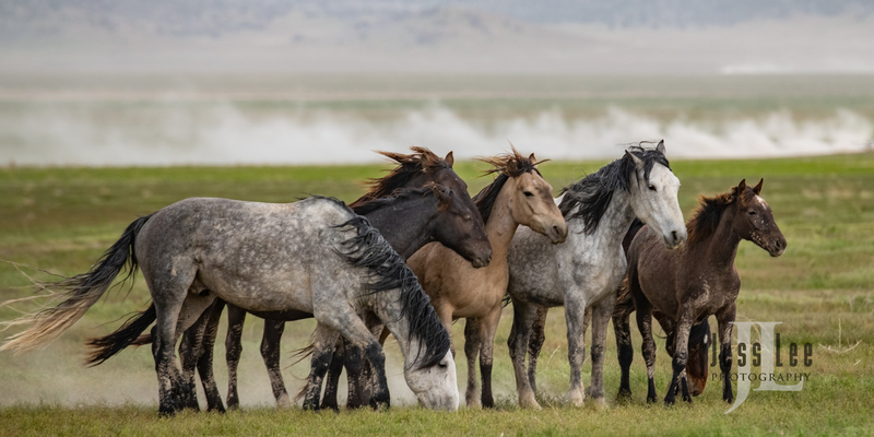 wild horses-2778(1).jpg :: Wild Horse Photos from Jess Lee Photo workshops for wild horses available for Stock, Prints, Fine Art. Mustangs from Utah, Wyoming, Oregon, Idaho, Colorado.